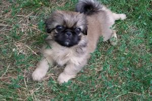 Пекинесы фото щенки
