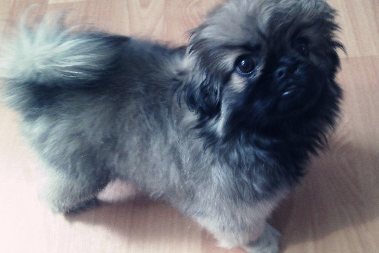 Видео щенков пекинеса 1.5 месяца