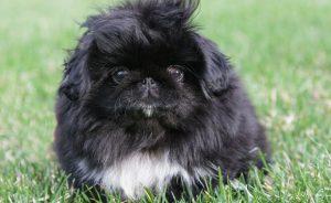 Питомники пекинесов - где купить щенка