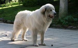 Питомники пиренейских горных собак