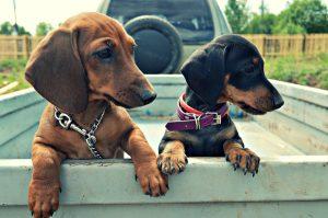 Порода собак такса фото