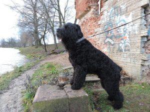 Порода собак черный русский терьер фото