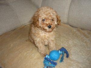Пудель - фото щенка