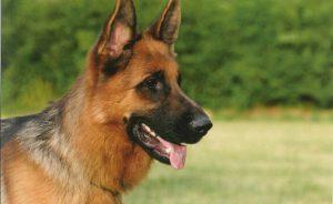 Служебные породы собак: ТОП-10 с фото и названиями