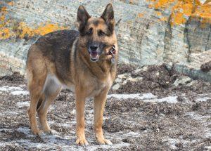 Служебные собаки фото немецкой овчарки