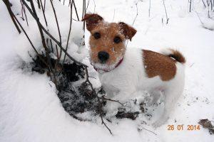 Собака джек рассел терьер фото