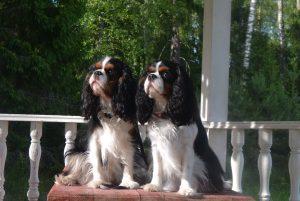 Собаки породы кавалер кинг чарльз спаниель триколор фото