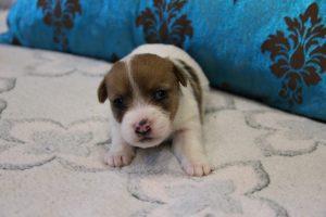 Фото маленького щенка джек рассел терьера