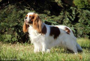 Фото собаки породы кавалер кинг чарльз спаниель