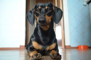Фото собаки породы такса