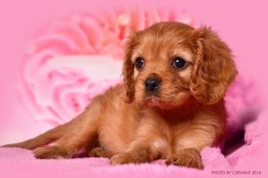 Фото щенка кавалер кинг чарльз спаниеля