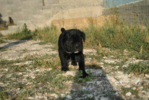 Фото щенка кане корсо и цена