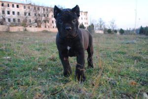 Фото щенка кане корсо