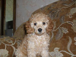 Фото щенка породы пудель