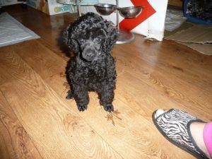 Черный пудель щенок фото