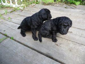 Черные щенки пуделя фото