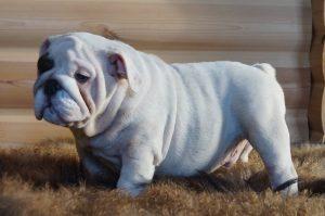Английский бульдог фото щенка