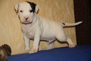 Белый стаффордширский терьер фото щенка