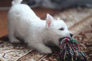 Вест хайленд уайт терьер фото щенка