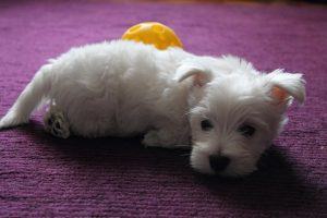 Вест хайленд уайт терьер фото щенки