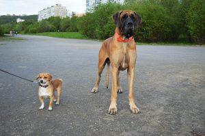 Немецкий дог по сравнению с маленькой собакой