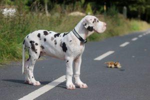 Немецкий дог щенки