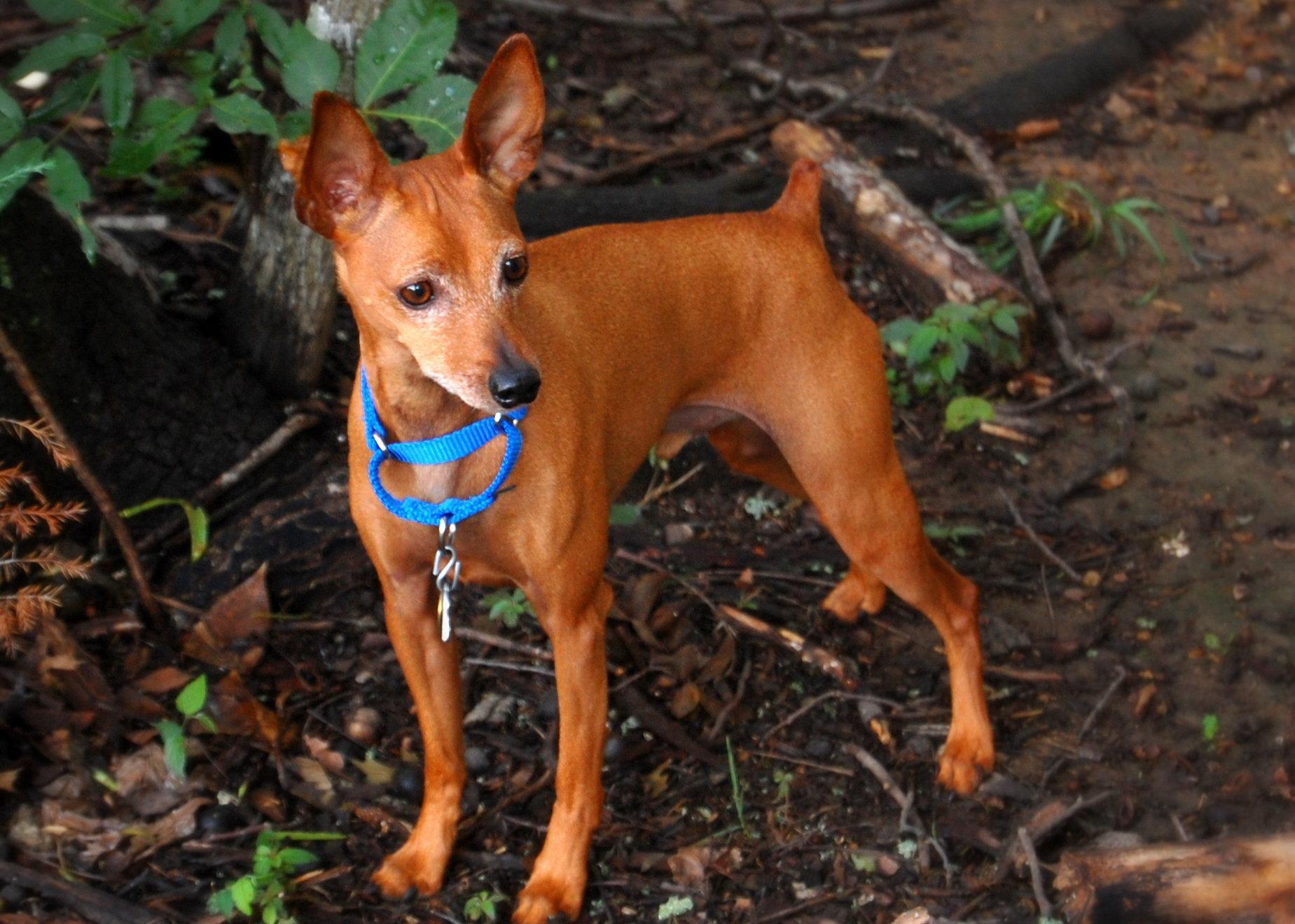 Фото собак карликовый пинчер