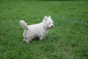 Порода собаки вест хайленд уайт терьер фото