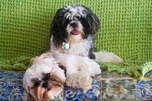 Порода собаки ши-тцу фото