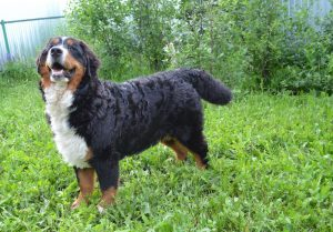 Порода собак бернский зенненхунд фото
