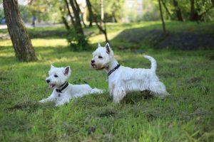 Порода собак вест хайленд уайт терьер фото