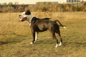 Порода собак стаффордширский терьер фото