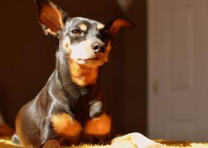 Собака карликовый пинчер фото