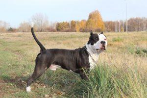 Собака стаффордширский терьер фото