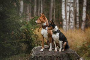Собаки басенджи фото и цена