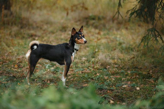 Басенджи - описание породы, фото, щенки (цена и питомники), отзывы, «Дай Лапу&raquo