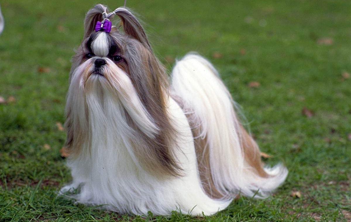 Fotos de perros salchicha de pelo largo 2