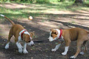 Стаффордширский терьер фото щенки