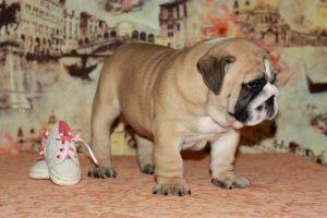 Фото щенка породы английский бульдог