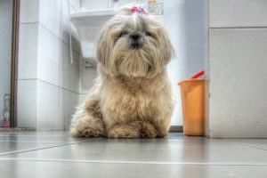 Ши-тцу - описание породы и фото