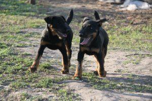 Ягдтерьер фото щенки