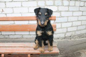 Ягдтерьер щенок фото