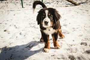 Бернский зенненхунд - фото щенка