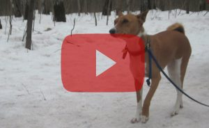 Видео о басенджи: лай и вой нелающей собаки