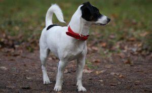 Джек рассел терьер – размеры и вес взрослой собаки