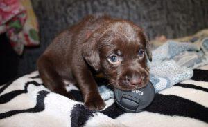 Сколько стоит щенок лабрадора