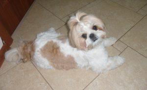 Питомники ши-тцу - где купить щенка