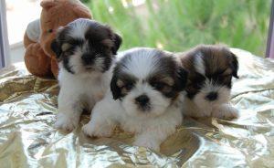 Сколько стоит ши-тцу - цена щенка