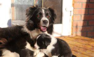 Сколько стоит щенок бордер-колли