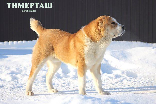 Красивые клички для собак мальчиков алабаев